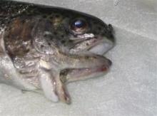 ตะลึง! นักตกปลาอเมริกันเจอมัจฉา 2 ปาก