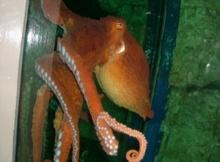 ปลาหมึกยักษ์, คราเกนอสูรกายใต้ทะเล