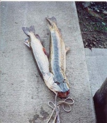 ปลาแฝด 2 ตัว กับ 1หัว1ปาก